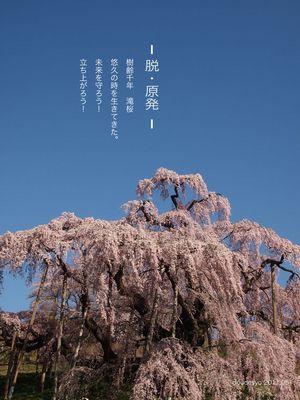 脱原発滝桜.jpg